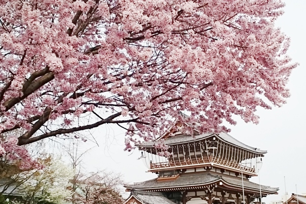 東別院の桜