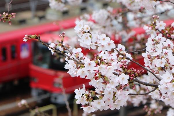 桜と名鉄電車
